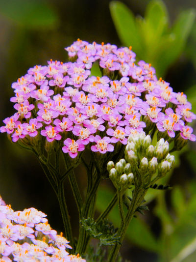🌿🌷🌿🌸🌿🌻🌿🌹🌿 Flower Head Flower Multi Colored Pink Color Purple Close-up Plant
