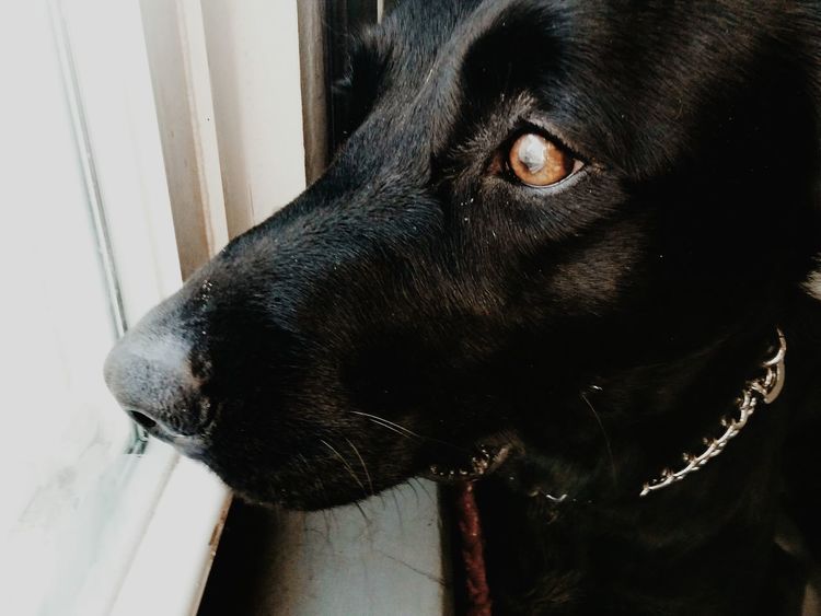 Pets Domestic Animals One Animal Black Color Animal Themes Mammal Close-up Dog Indoors  Black Labrador Black Lab Brown Eyes Cute Pets Cute Dogs The Portraitist - 2017 EyeEm Awards BYOPaper! Place Of Heart Pet Portraits