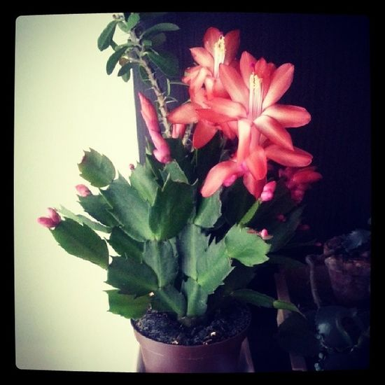my own Christmas cactus Merry Christmass to all Schlumbergera Christmas ChristmasCactus ChrismtasFlower Xmas MerryXmas MerryChristmas ChristmasTime december