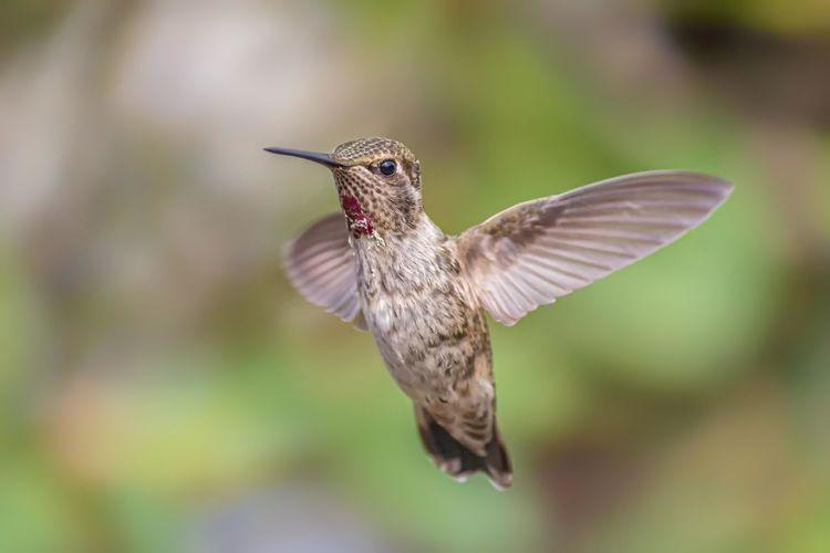 A single hummingbird is captured in flight in northern california.