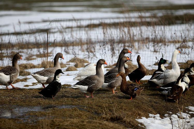 Flock of birds in lake during winter