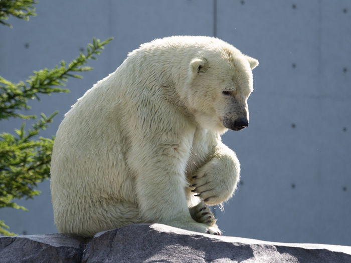 Animal Animal Head  Animal Themes Animal Wildlife Animals In The Wild Bear Day Focus On Foreground Looking Mammal Nature No People One Animal Outdoors Polar Bear Rock Rock - Object Solid Sunlight Vertebrate White Color