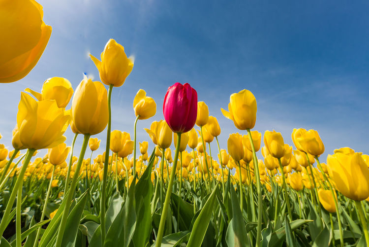 Flower Yellow Flowering Plant Plant Fragility Beauty In Nature Vulnerability  Freshness Growth Petal Field Sky Land Flower Head Tulip Inflorescence Close-up Nature Day No People Outdoors Springtime