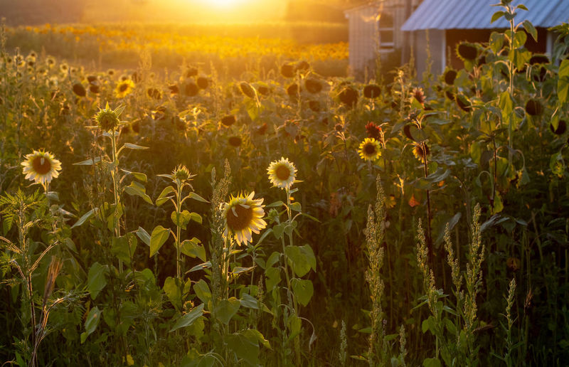 Scenic view of sunflower field against sky at sunset