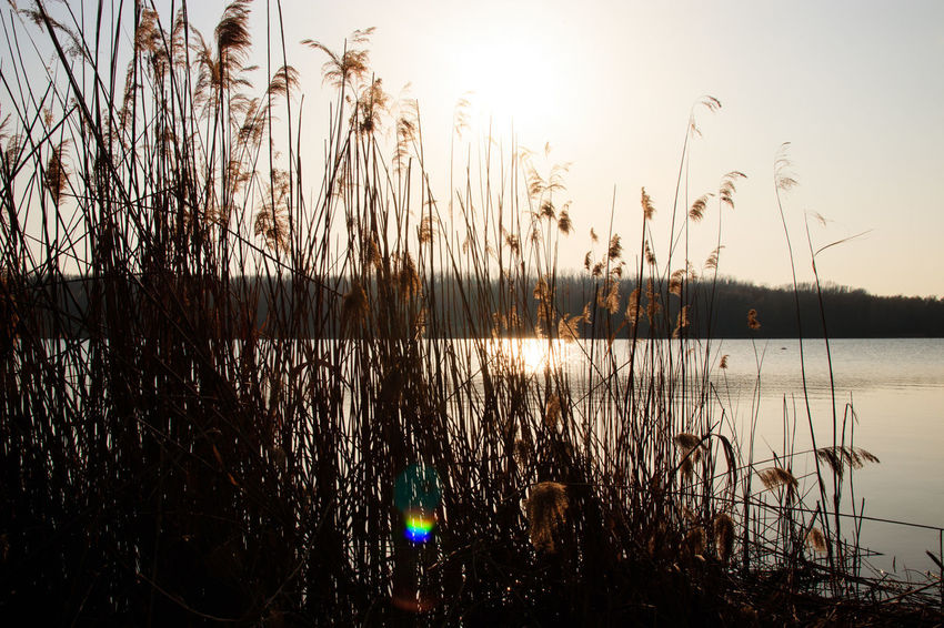 Beauty In Nature Grass Growth Idyllic Lake Nature No People Non-urban Scene Outdoors Plant Reflection Scenics - Nature Sky Stalk Sun Sunlight Sunset Timothy Grass Tranquil Scene Tranquility Water