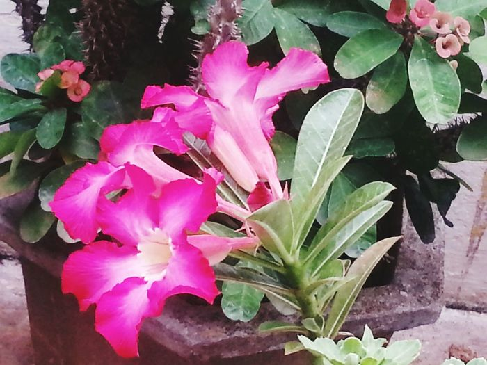 Blossom Vibrant Color Springtime Fresh Flowers Beauty In Nature Bunch Of Flowers Pink Flowers In Bloom at Thirunelveĺi