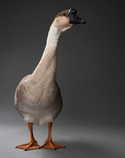 Chinese Goose Goose Animal Themes Animal Bird One Animal Vertebrate No People Animal Wildlife Animals In The Wild Nature Full Length Close-up Studio Shot Standing Beauty In Nature Beak