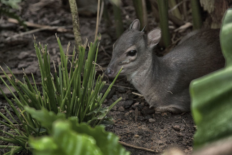 Baby antelope sitting on the ground Animal Themes Animal Wildlife Animals In The Wild Antelope Baby Close-up Day Deer Duiker Eating Field Grass Mammal Nature No People One Animal Outdoors