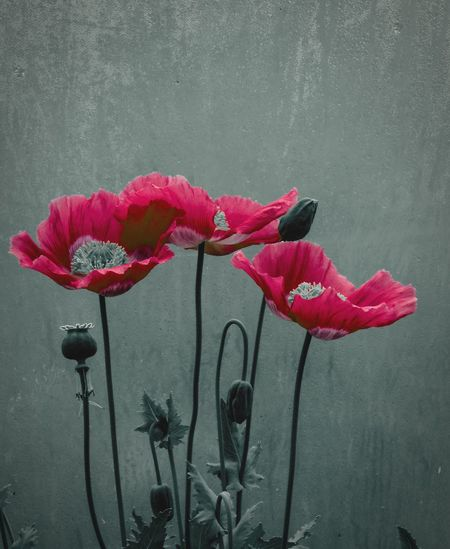 ... Poppies  in a Polytunnel ... /versión 1/ Flower Pink Color Freshness No People Petal Close-up Red Flower Head Water Plant Fragility Beauty In Nature Growth Nature Day Garden Gardening Growing High Contrast Carmine Flores Poppy Beauty