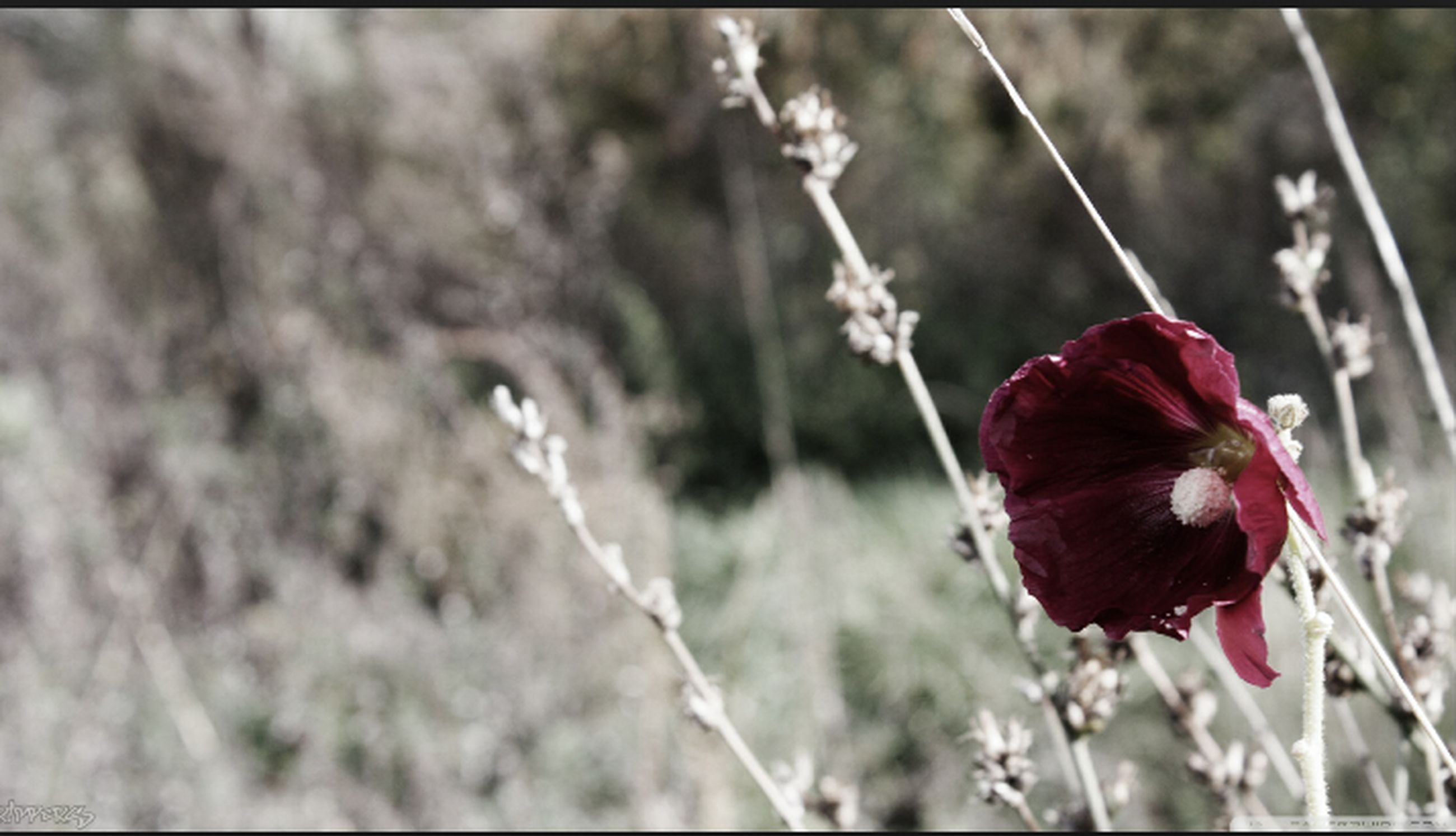 flower, focus on foreground, red, close-up, plant, growth, fragility, nature, freshness, stem, beauty in nature, selective focus, day, outdoors, no people, flower head, petal, branch, blooming, auto post production filter