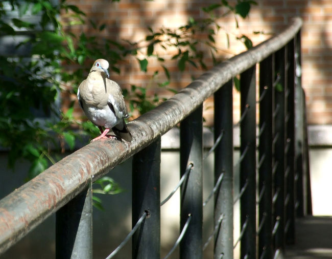 Vertebrate Bird Animal Themes Animal Perching Animal Wildlife One Animal Animals In The Wild Focus On Foreground Metal No People Day Tree Railing Branch Plant Nature Outdoors Fence Dove White Winged Dove White-winged Dove Texas Austin Austin Texas