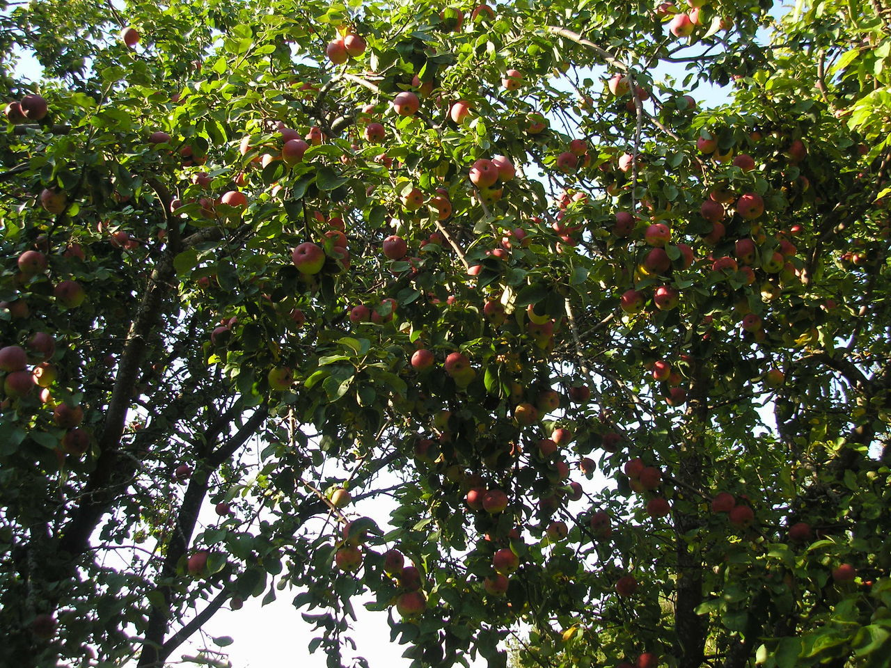 fruit, tree, food and drink, growth, low angle view, nature, branch, food, outdoors, day, leaf, beauty in nature, freshness, healthy eating, green color, no people, red