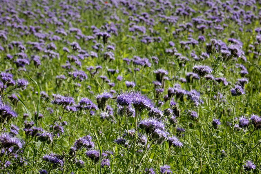 Bienenfreund Büschelblume Büschelschön, Bienenweide, Büschelblume, Bienenweide Phacelia Beauty In Nature Bienenweide Close-up Day Field Flower Flower Head Focus On Foreground Fragility Freshness Grass Green Color Growth Nature No People Outdoors Plant Purple