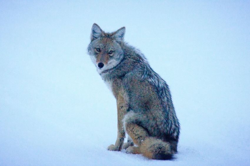 Coyote at rest in Yellowstone Snow ❄ Winter Wonderland Coyote EyeEm Selects One Animal Animal Themes No People Mammal Day Outdoors Close-up
