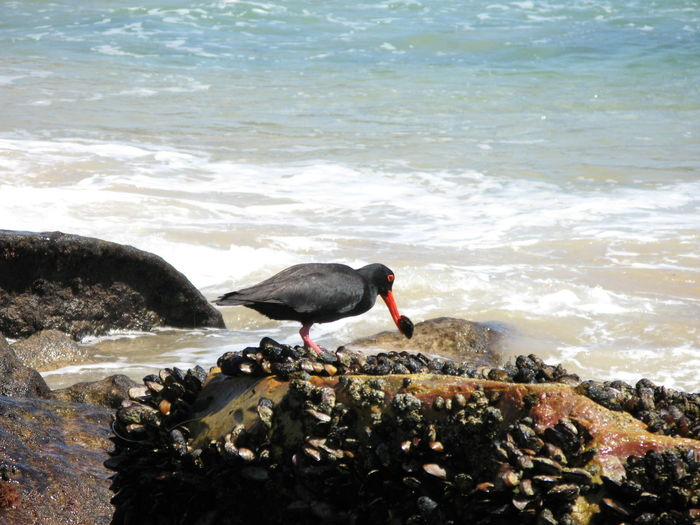 Black oystercatcher with mussel in beak on rock
