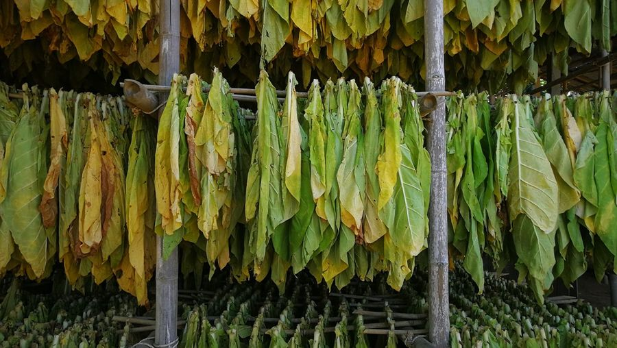 Panoramic shot of corn hanging from leaves