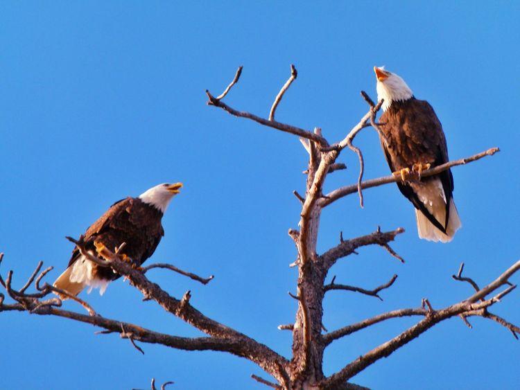 Bald Eagles of Eastern Arizona Bald Eagle Eagle Birds Of Prey Birds Of EyeEm