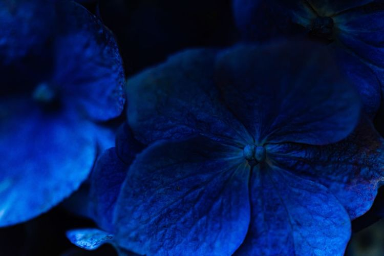 Close-up of purple hydrangea blue flower