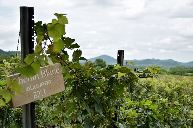 Agriculture Nature Landscape Cloud - Sky vineyard