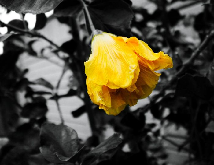 Yellow Flower Summer Emphasis Black Color Backyard Nature Photography Eye See Beauty Canon Black And White Iloveeyeem Crafted Beauty EyeEmNewHere