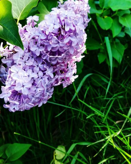 Lilac _ Blossom in May Country Life Countryside Country Walks Hedgerow Silent Moment Quiet Places Emerging May Meditative Scent Eyem Nature Lovers  Eyemgallery Eyemphotography Animal Themes Green Color Lilac Blooming Petal