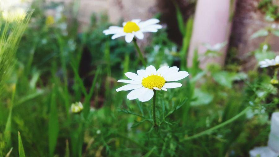 White White Color White Flowers 🌷 Flowers 🌹 🌸flower🌸 🌸Nature🌸 Nature Beautiful Beautiful Nature Nature Photography Nature Collection Beautiful Flowers 🌸 ❤❤ 🌸🌸🌷 ❤️❤️😍😍 🌸~ Flower 🌼flowers🌼 🌼🌼 Flower 🌼 🌼 🌼 🌼 🌼 🌼 🌼white Flowers 🌼❤❤👍👌💋 💃💃💃💃