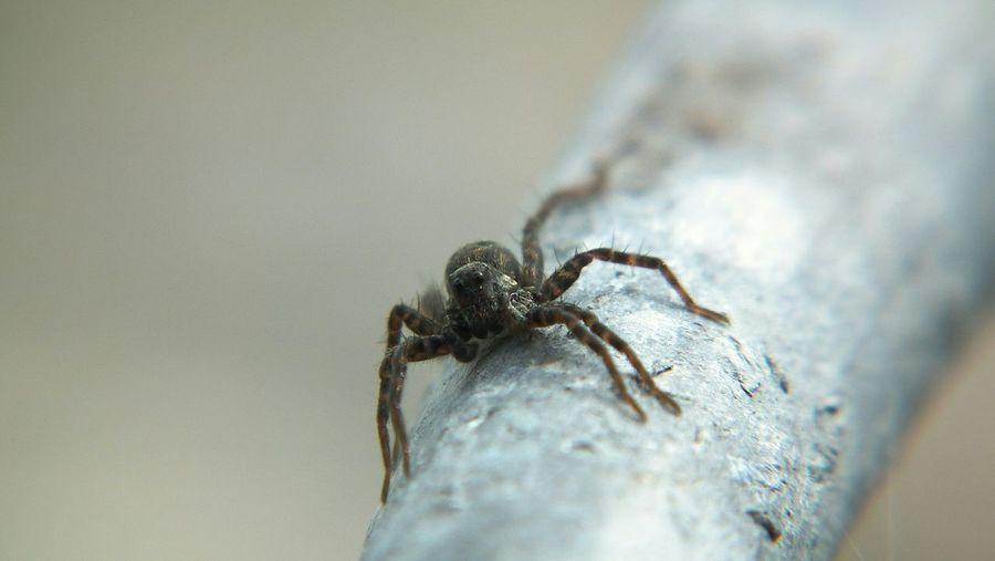 The Purist (no Edit, No Filter) Macro Macro Photography Macro Nature Macro Spider Spider
