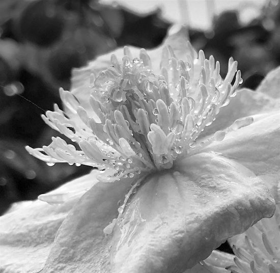 My Ftiday b&w post... Blackandwhite Photography Black & White Black And White Flower Collection Artphotography Monochrome Raindrops On Flowers Clematis