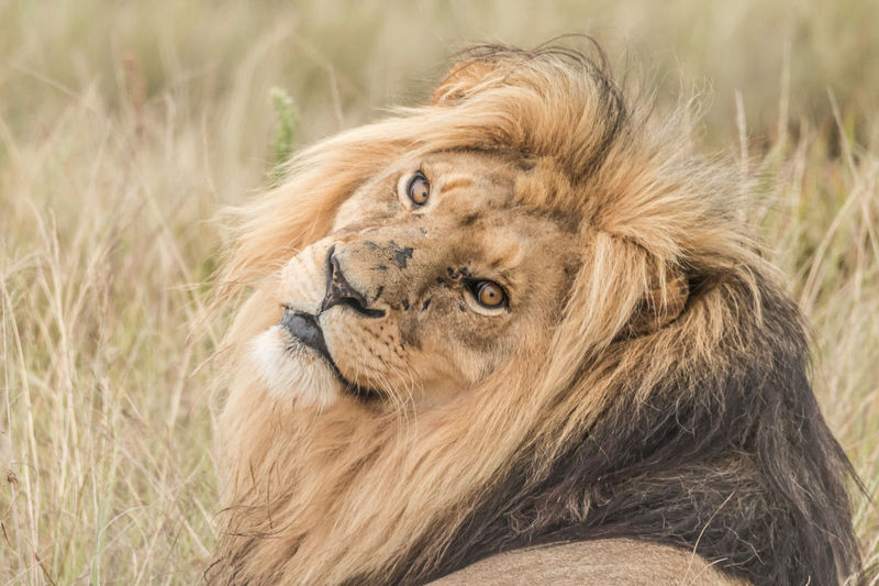 Lion Lion - Male Cat Big Cat Feline Animal Animal Themes Animal Wildlife Lion - Feline Animals In The Wild One Animal Male Animal Grass No People Animal Head  Mammal Portrait Close-up Focus On Foreground Relaxation Animal Body Part Looking At Camera Looking