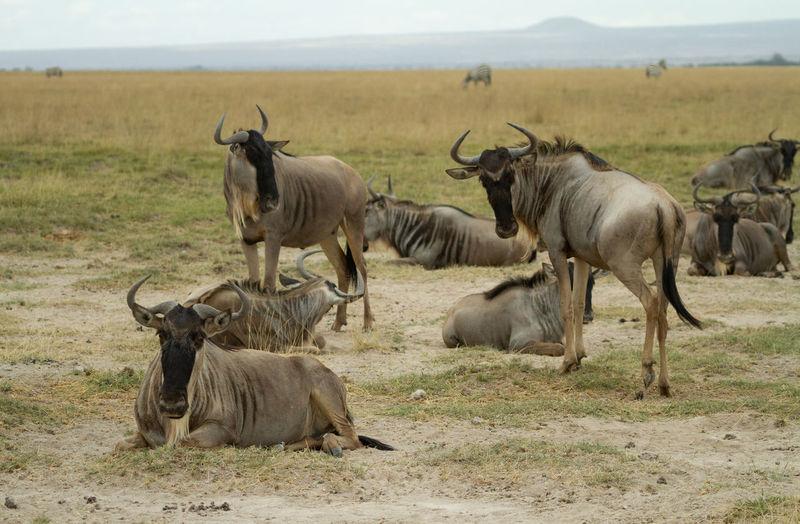 Wildebeest posing in a field