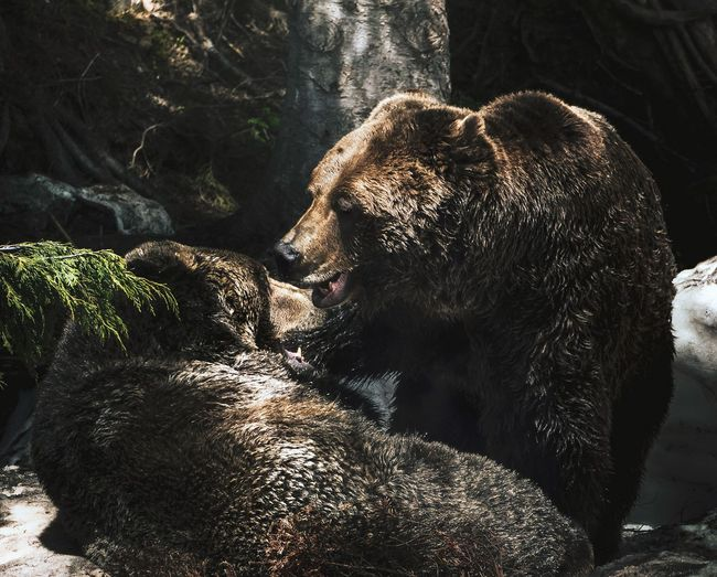 Two grizzly bears play fighting in a snowy forest hollow
