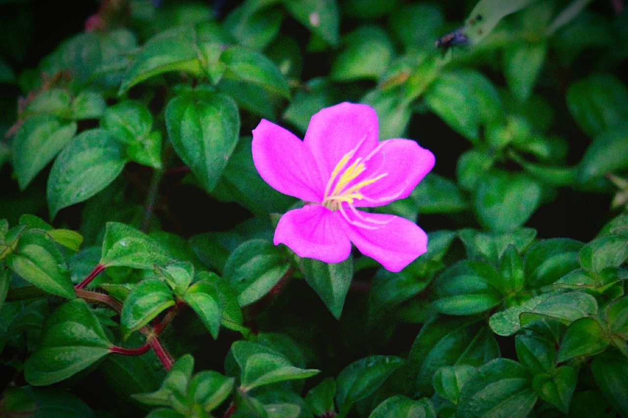 flower, growth, petal, beauty in nature, leaf, green color, fragility, flower head, blooming, nature, freshness, plant, periwinkle, focus on foreground, pink color, no people, day, close-up, outdoors