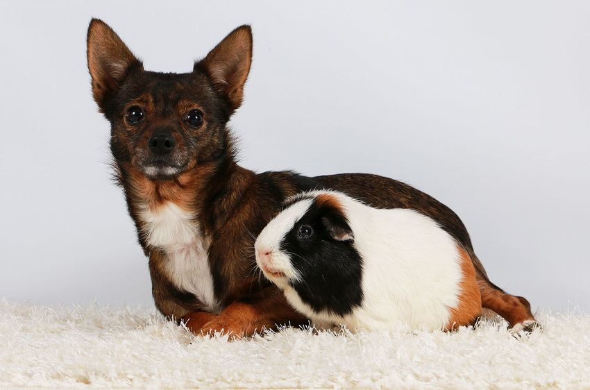 friends together in the studio Guinea Pig Studio Animal Themes Chihuahua Day Dog Domestic Animals Indoors  Looking At Camera Lying Down Mammal Meerschweinchen Mixed Dog No People Pair Pets Portrait Puppy Sitting Small Studio Shot Togetherness White Background