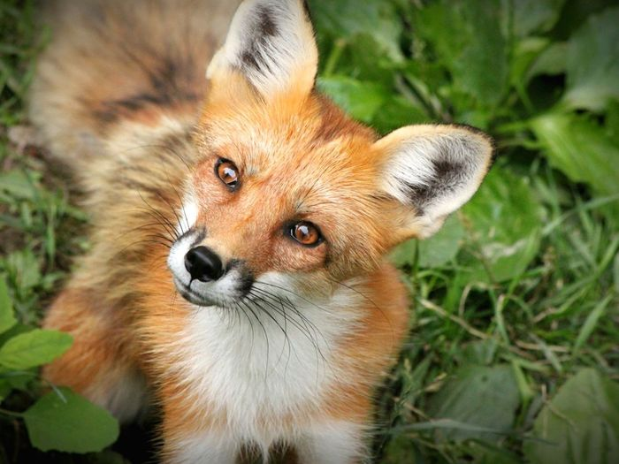 Photography Animals Mammal No People Outdoors Close-up One Animal Fox Red Fox Forest Forest Photography Forest Life Animal Themes Animals In The Wild Animal Photography Animal Head  Animal_collection Animal Eye Animal Portrait Capture The Moment Nature Nature_collection Nature Photography Fine Art Photography Tranquility