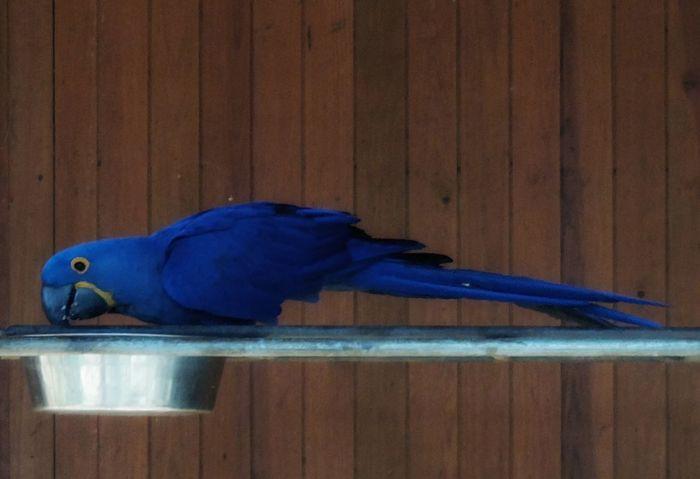 Hyacinth Macaw Arara-jacinto Hyacinth Macaw Arara-azul-grande Blue Wood - Material One Animal No People Animal Wildlife Animal Themes Bird