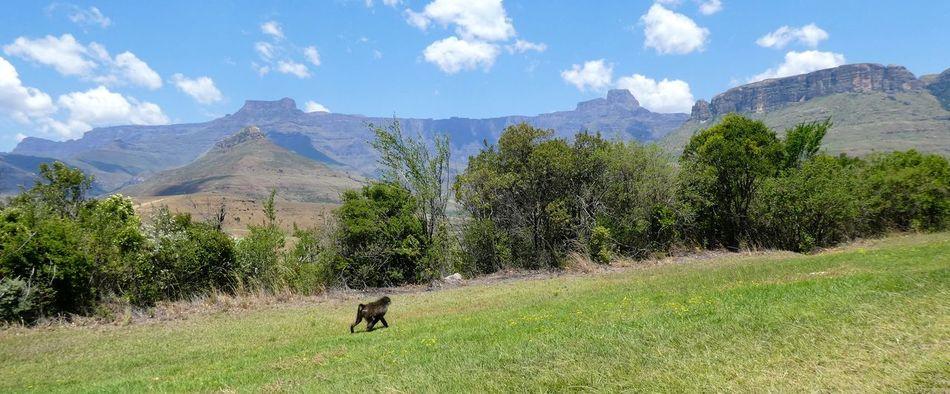 Beauty In Nature Berge Day Drakenberge Drakensberg Drakensberg, South Africa Drakensburg Mountains, South Africa, Mountain Gebirge Kwazulunatal Landscape Mountain Nature Outdoors Royal-natal-nationalpark Sky Southafrica Südafrika