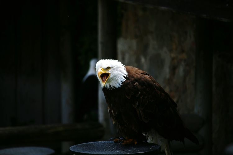 Close-up of eagle perching outdoors