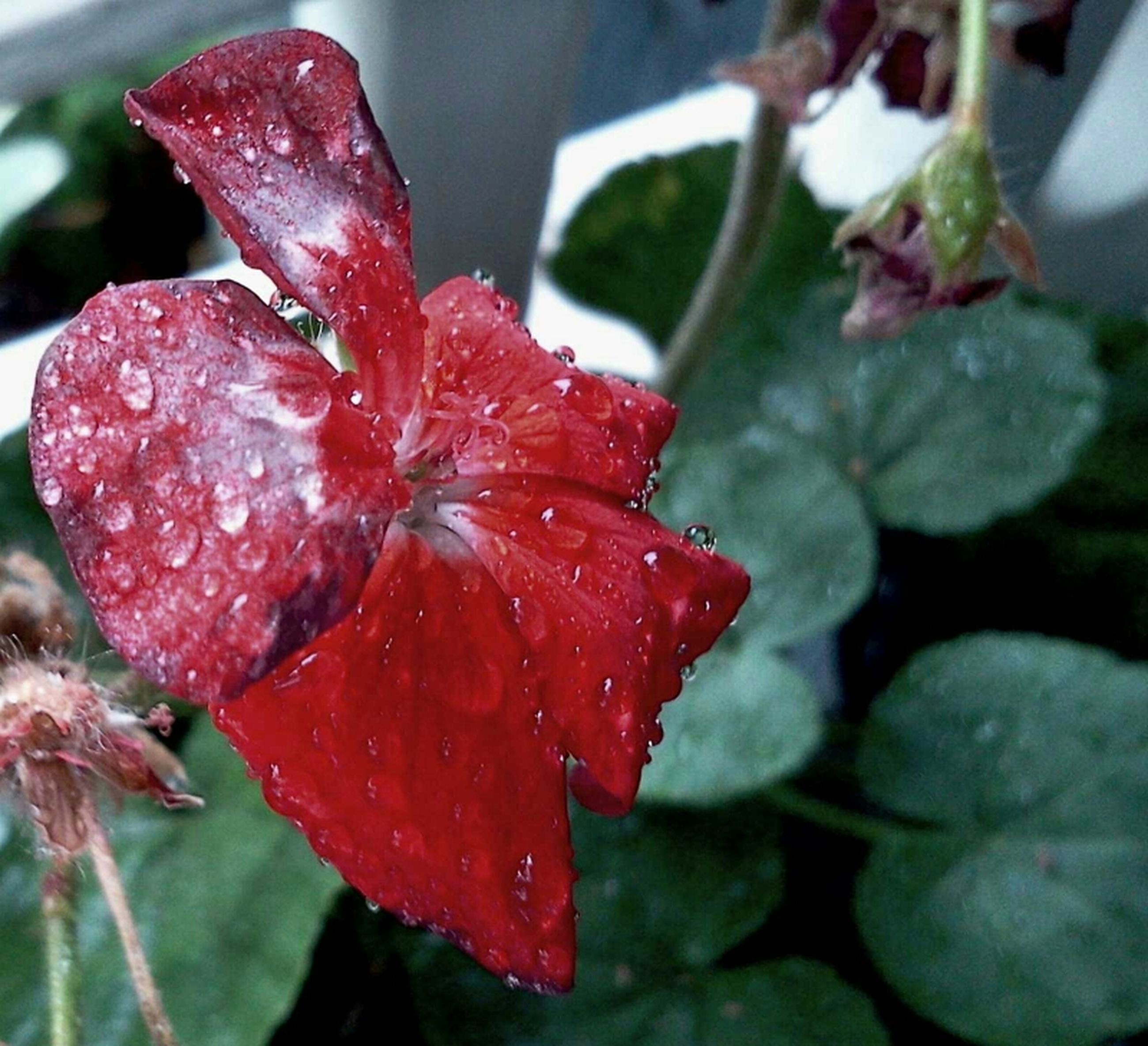 flower, freshness, drop, petal, fragility, close-up, wet, water, red, flower head, growth, focus on foreground, beauty in nature, plant, leaf, nature, blooming, dew, single flower, rain