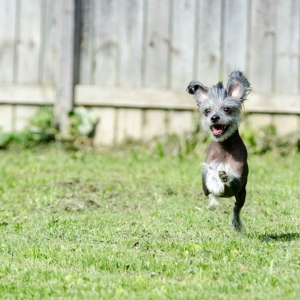 Odin jumping for Joy Happy Dog Chinese Crested Dog Chinese Crested