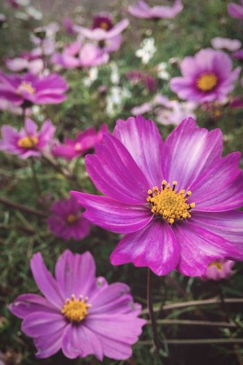 Flower Pink Color Blooming Cosmos Flower Fragility