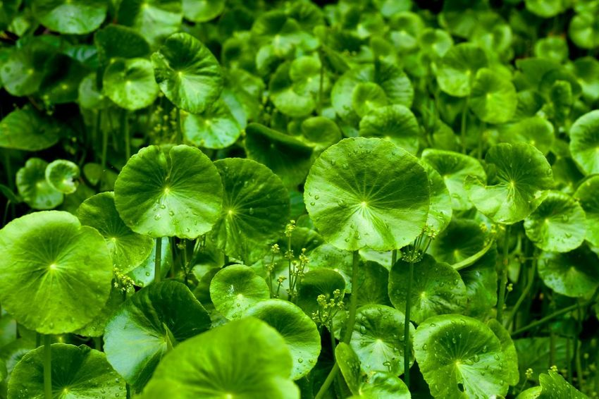 Asiatic pennywort green leaves colony as background Asiatic Pennywort Beauty In Nature Close-up Day Freshness Full Frame Green Color Green Leaf, Fresh And Beautiful Green Leaves Growth Leaf Nature No People Outdoors Pennywort Plant Plant Part