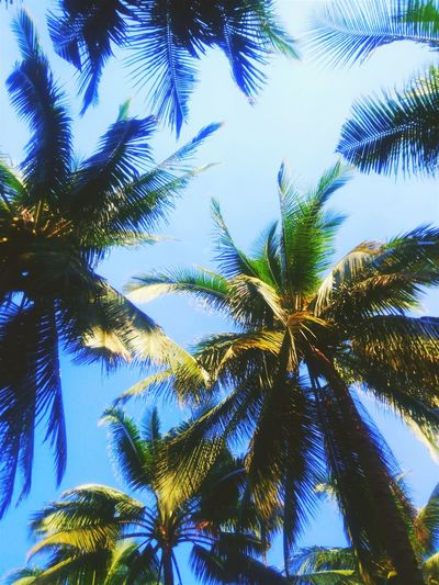 Just the Coconuts Summer Canopy Of Trees Lying Down My View Right Now