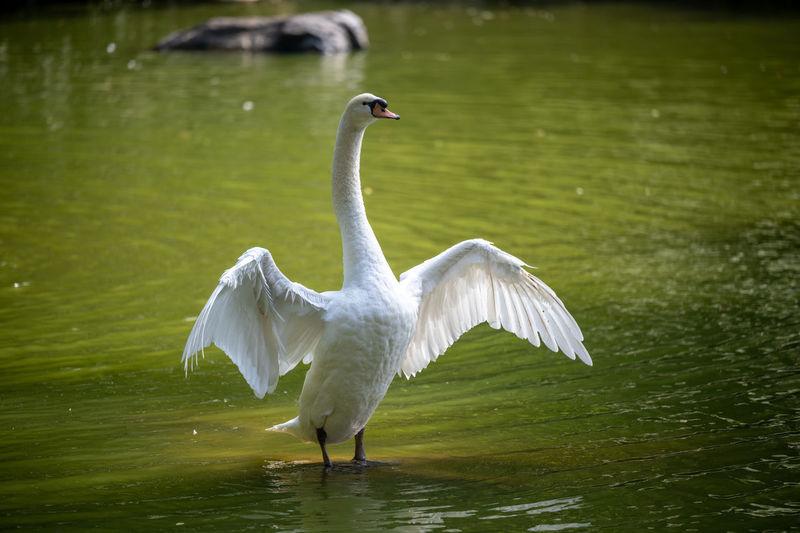 White heron flying over lake