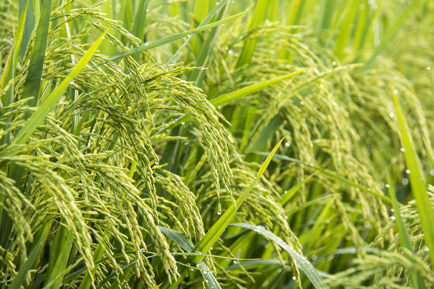 Green Color Growth Plant Agriculture Crop  Cereal Plant Field Land Nature Close-up Rural Scene Landscape Farm Day No People Leaf Plant Part Food And Drink Full Frame Outdoors Plantation Herb Sustainable Resources Beauty In Nature Rice - Cereal Plant