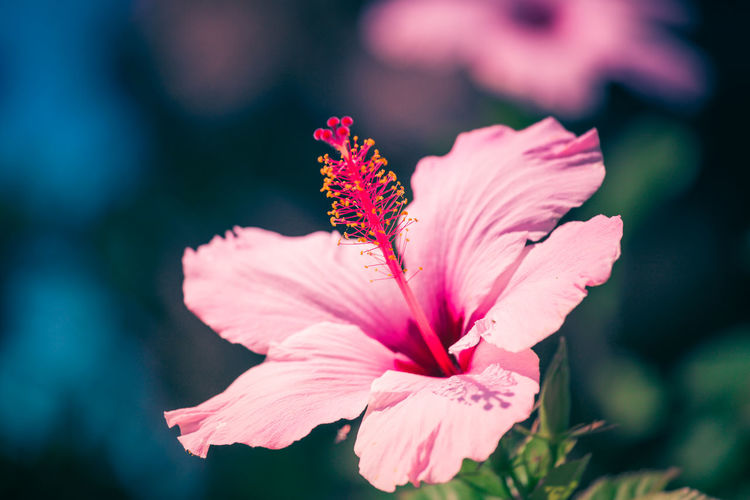 Close-up of pink hibiscus flower