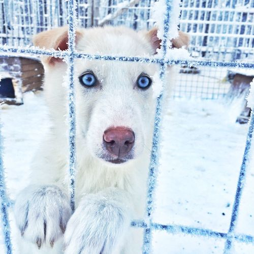 Close-Up Portrait Of Dog In Cage During Winter