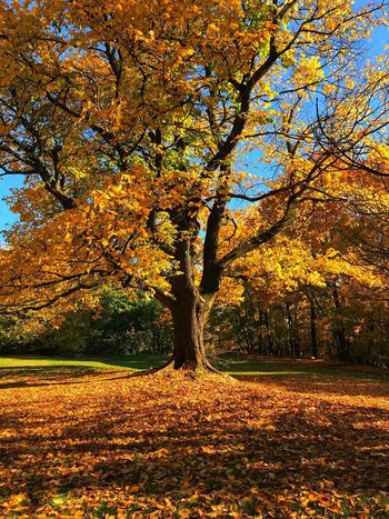 Fall time 1 Fall Leaves Tree Plant Nature Autumn No People Beauty In Nature Change Day Outdoors Leaf Branch Tranquility Park Orange Color Yellow Sunlight