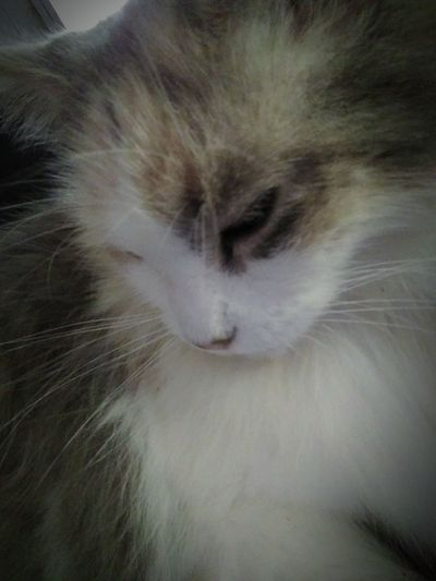Kitty selfie. My dilute calico Maine coon mix Veronica. Domestic Cat Cat Animal Themes Pets Domestic Animals Feline Close-up Whisker Animal Eye Whiskers Animal Head  One Animal No People Macro Beauty Maine Coon Cat Dilute Calico Dilute Calico Cat Calico Cat Fluffy Cat Cat Selfie Cat Selfie... Furry Kitty Cat Cat Lovers Cat Photography