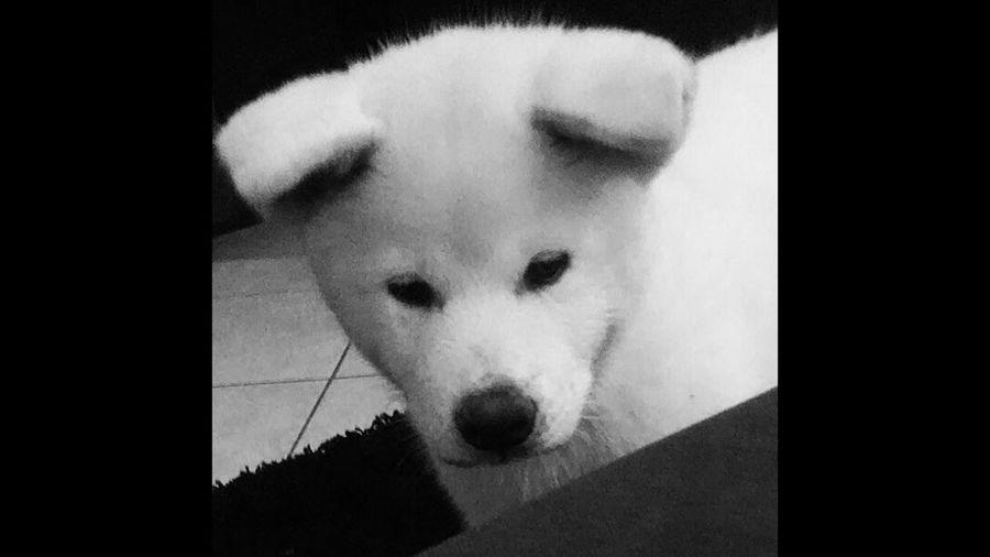 Little White Akita Yuudai