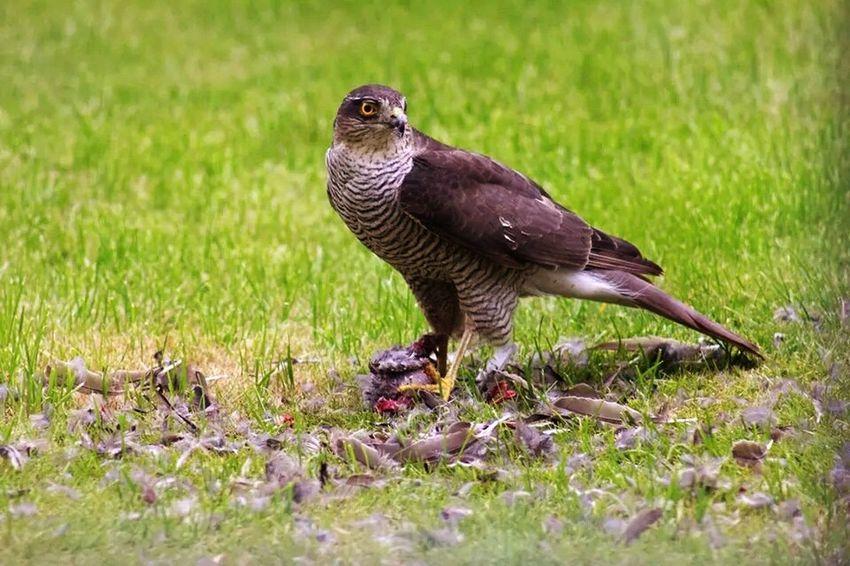 Bird eating prey. Hawk Birdofprey